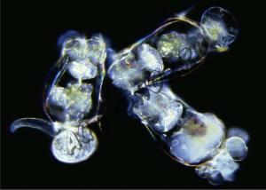 Живая культура солоноводной коловратки Brachionus (Живой)